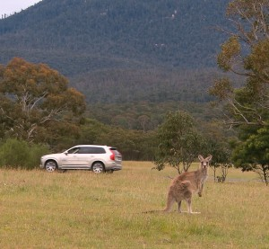Volvo vowed Thursday to develop the first kangaroo detection and crash-prevention system, a move which would make for safer travels but fewer collisions to repair across Australia. (Provided by Volvo)